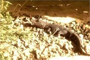 this is the world s unique and strange crocodile it s its specialty