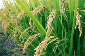 200 rs increase in paddy msp dusting in the eyes of farmers
