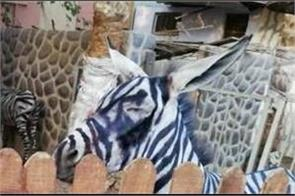 egyptian zoo paints stripes on a donkey in a bid to fool visitors