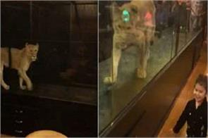 children in this cafe have fun with lions see video