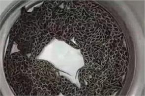 maharashtra russell wiper snake hitrt