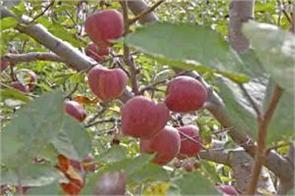 approval of market intervention plan for apples in himachal government