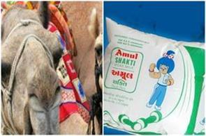 amul will harvest camel milk by the end of this year