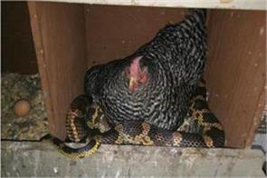 the snake had stolen the hen eggs found it hard to do this lesson