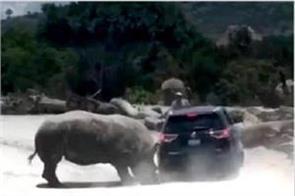 watch rhino attacks vehicle at safari zoo