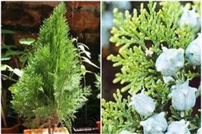 morpankhi plant benefits for home decor
