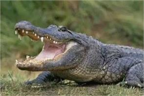 half body body gets cremated crushed crocodile