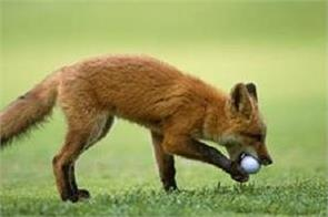 fox steals golf ball off green at springfield country club