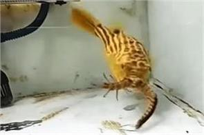 pufferfish eats snake scorpion and centipede