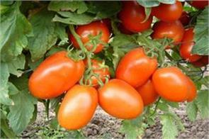 farmer s trouble with good yield of tomatoes