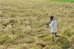damage to paddy crop due to heavy rains