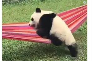panda trying to get in a hammock video viral