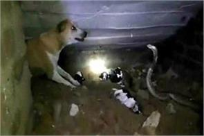 cobra attacks on dog puppies and killed them