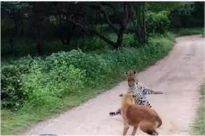 stray dog scares away leopard
