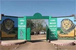 death of 10 lions in gir yet not ready to give lion to koono