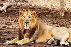 death of lions in fall due to conflict
