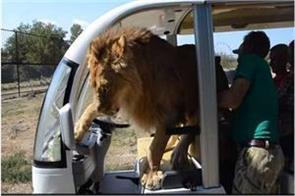 lion laughing at the tourist car suddenly