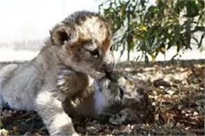 world s first lion cubs born by test tube in south africa