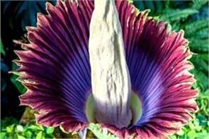 this flower blooms just once in 10 years