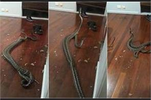 video of two fighting pythons falling into bedroom scares netizens