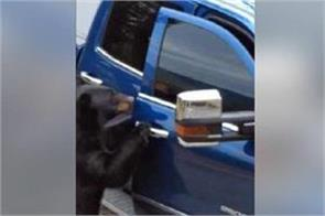 bears steal the car door and stole it watch video