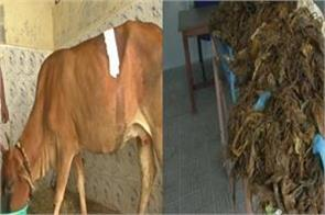 plastic removed from the stomach of the cow by performing the operation