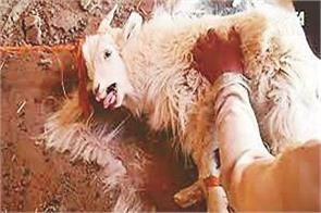 sheep have to stop  cruelty  on sheep