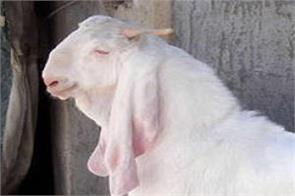 goat s death causes rs 68 crore loss to mahanadi coalfield