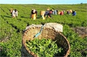 tea exports stabilized in first eight months of 2019