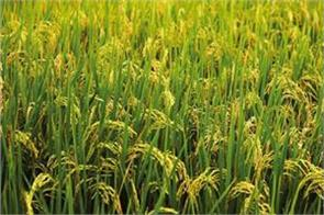 basmati paddy to be bumper this time paddy acreage increased
