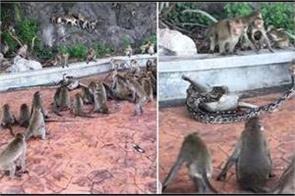 wild python strangles monkey as troop tries to help