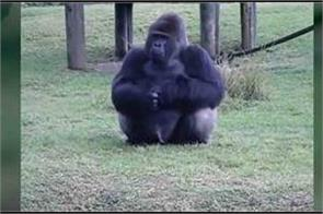 gorilla uses sign language to tell onlookers this watch