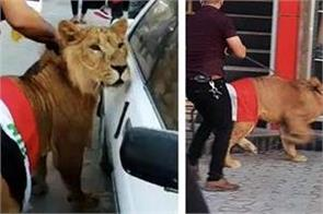 iraq protesters bring in trained pet lions to fight riot police dogs