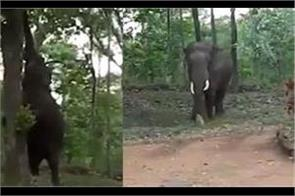 viral video shows elephant plucking jackfruits off a tree
