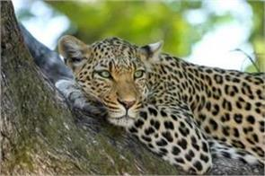teenager killed in leopard attack in kathua corpse mutilated