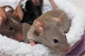 rats are more social than thought feel each other s pain