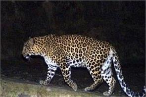 leopard attacked woman in gujarat second incident in last two days