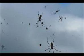 video shows  raining spiders  in brazil t