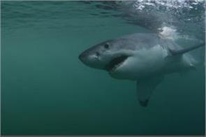 the largest white shark seen near the beach see photos
