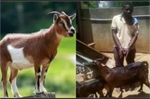 man arrested for raping goat in africa