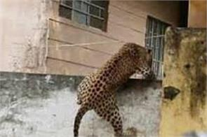8 ft high wall trapped into the room leopard