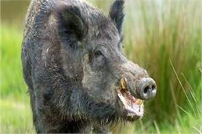 terror of wild pig in sultanpur 13 injured 6 critical condition