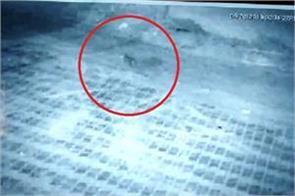 leopard captured in cctv cameras