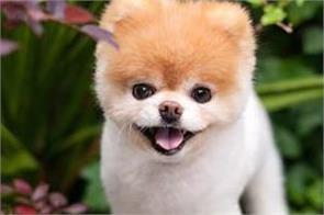 boo world s cutest dog dies aged 12
