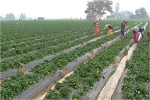 village shyahwada is strawberry hub earning 10 lakh in one acre