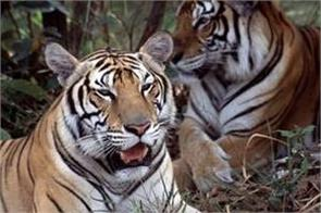 climate change threatens to wipe out bengal tiger
