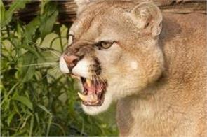 runner strangled mountain lion after animal attacked him