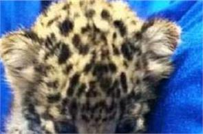 air intelligence unit seized a leopard cub from the baggage of a passenger