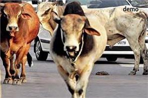 220 crores sanction for maintenance of stray cows