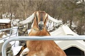 lincoln the goat elected mayor of american town